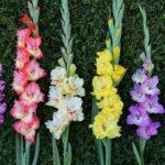 Care este originea gladiolelor si ce semnifica acestea?