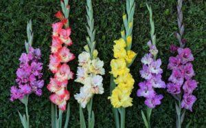 Care-este-originea-gladiolelor-si-ce-semnifica-acestea